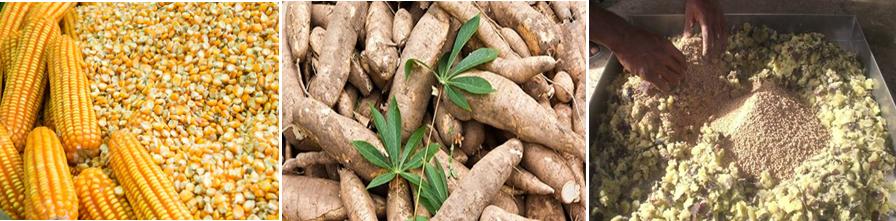 Ngô, sắn lát được nghiền nhỏ, cùng cám gạo có thể được phối trồn và ủ với men vi sinh hoặc hấp chín