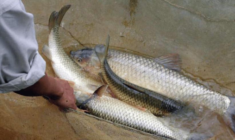 Yêu cầu cần đạt: Cá có sức khỏe tốt, nhanh nhẹn và phát triển lành mạnh